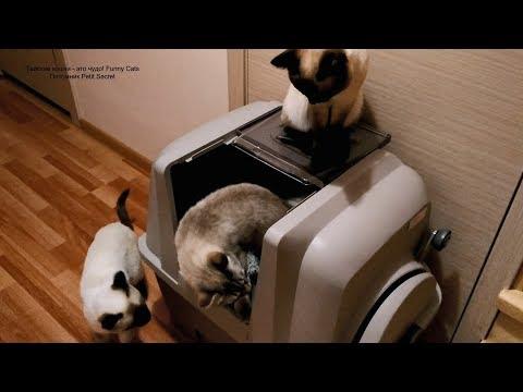 Как тайские котики знакомились с новым лотком-туалетом! Тайские кошки   это чудо! Funny Cats