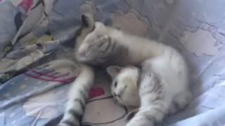 Мой кот Вискас, британец, который раньше был кошкой.