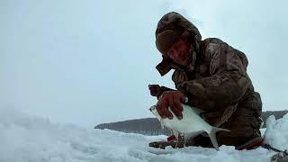 В обед пришел на лед и наловил рыбы. Подлещик.