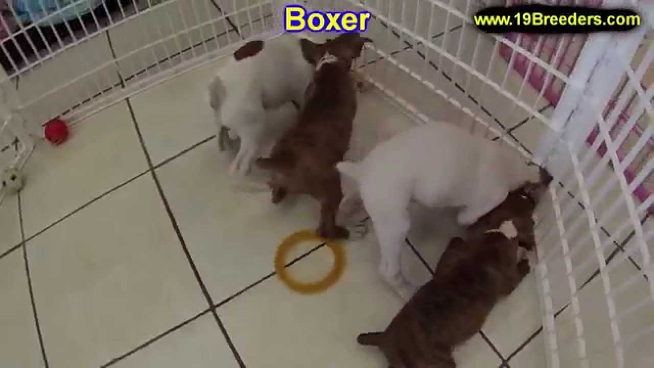 Boxer Puppies Dogs For Sale In Tampa Florida Fl 19breeders