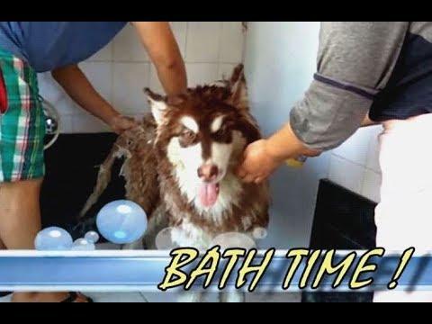 Leo | Alaskan malamute | Bath Time