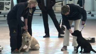 Puppy Guide Dogs In Training At Raf Museum Cosford