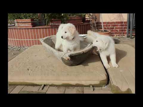 Video Maremmánsko Abruzský pastevecký pes štěňátka
