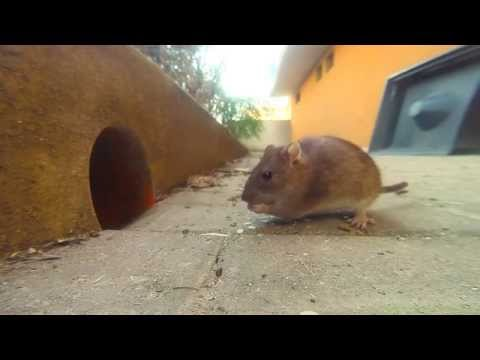 GoPro: Mouse in my house