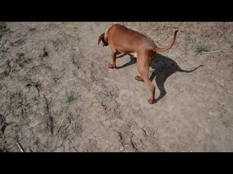 A Day in the life of a Vizsla