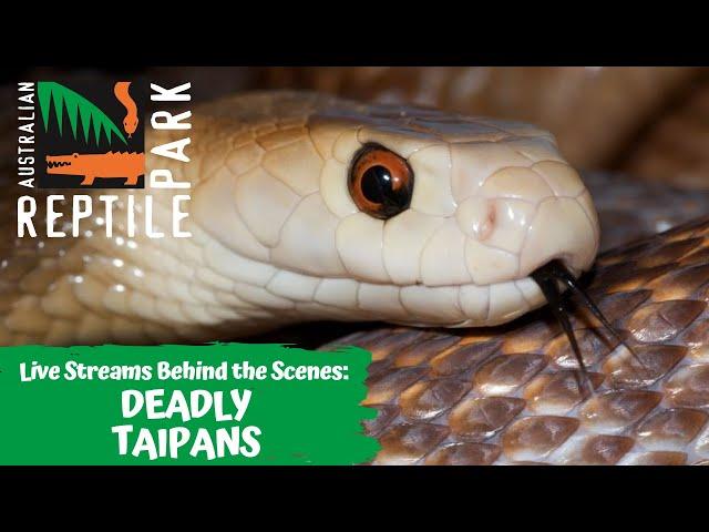 DEADLY TAIPAN MILKING (LIVE FOOTAGE) | AUSTRALIAN REPTILE PARK