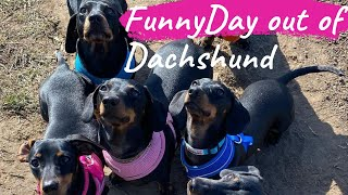 Funny Day Out With Miniature Dachshund dogs #Dayoutwithdog#playfuldayoutwithdogs#FunnyDayoutwithDog