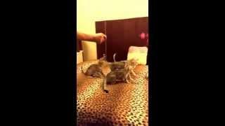 Savannah cats in slow motion. Part 1. / Кошка Саванна в замедленной съемке, часть 1.
