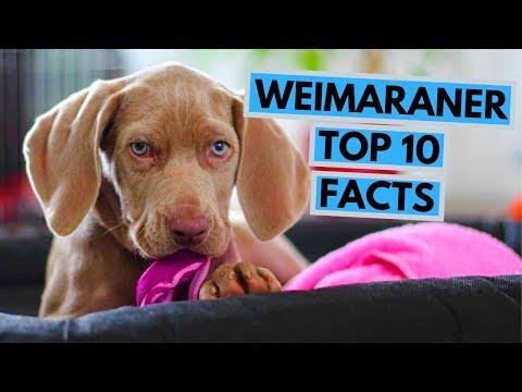 Weimaraner - TOP 10 Interesting Facts