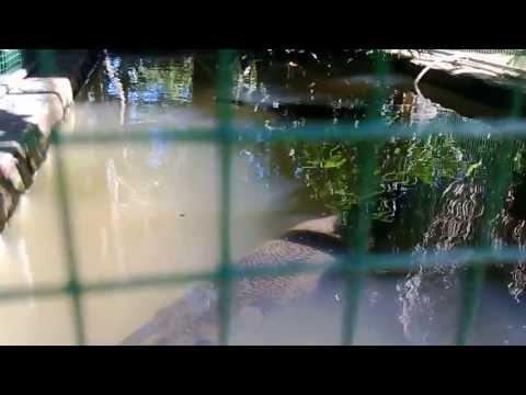 Cá Sấu Hỏa Tiễn 4