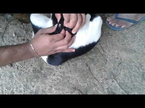 Retirando berne de cachorro