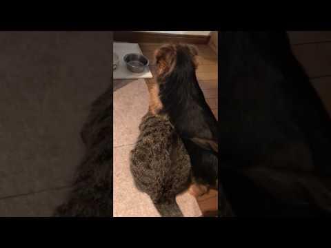 Norfolk Terrier pup Gina and Frieda the cat 耐えるフーちゃん