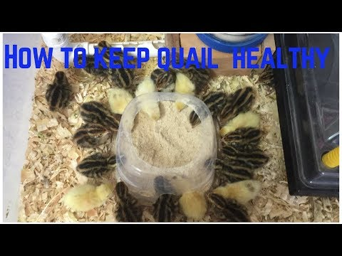 How to Keep Quail Healthy: Food, Water, and Sand Baths