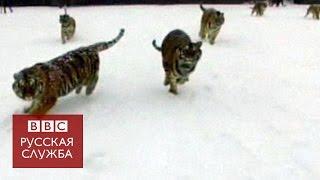 Амурские тигры разбили квадрокоптер(Растолстевшие тигры в Китае устроили охоту на снимавший их дрон. Таким образом смотрители зоопарка пытаютс..., 2017-02-23T15:25:44.000Z)