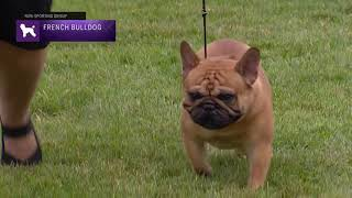 French Bulldogs | Breed Judging 2021