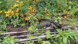 Кот Мурлок путешествует по саду в деревне.