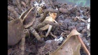 Wolf Spider Feeding Video - Female Tigrosa georgicola