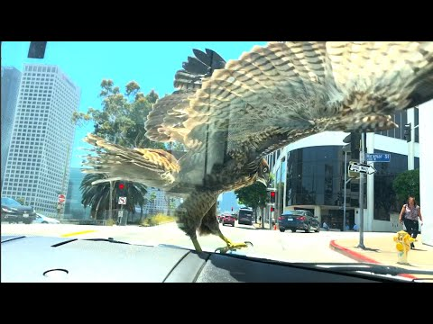 Eric Hunter - Hawk Lands On Moving Car In LA