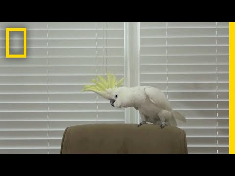 Snowball the Cockatoo Can Dance Better Than You   National Geographic