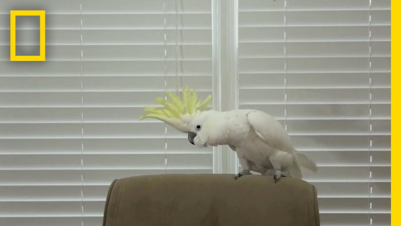 Snowball the Cockatoo Can Dance Better Than You | National Geographic