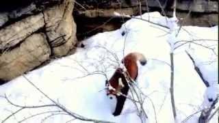 Красная панда   :-))