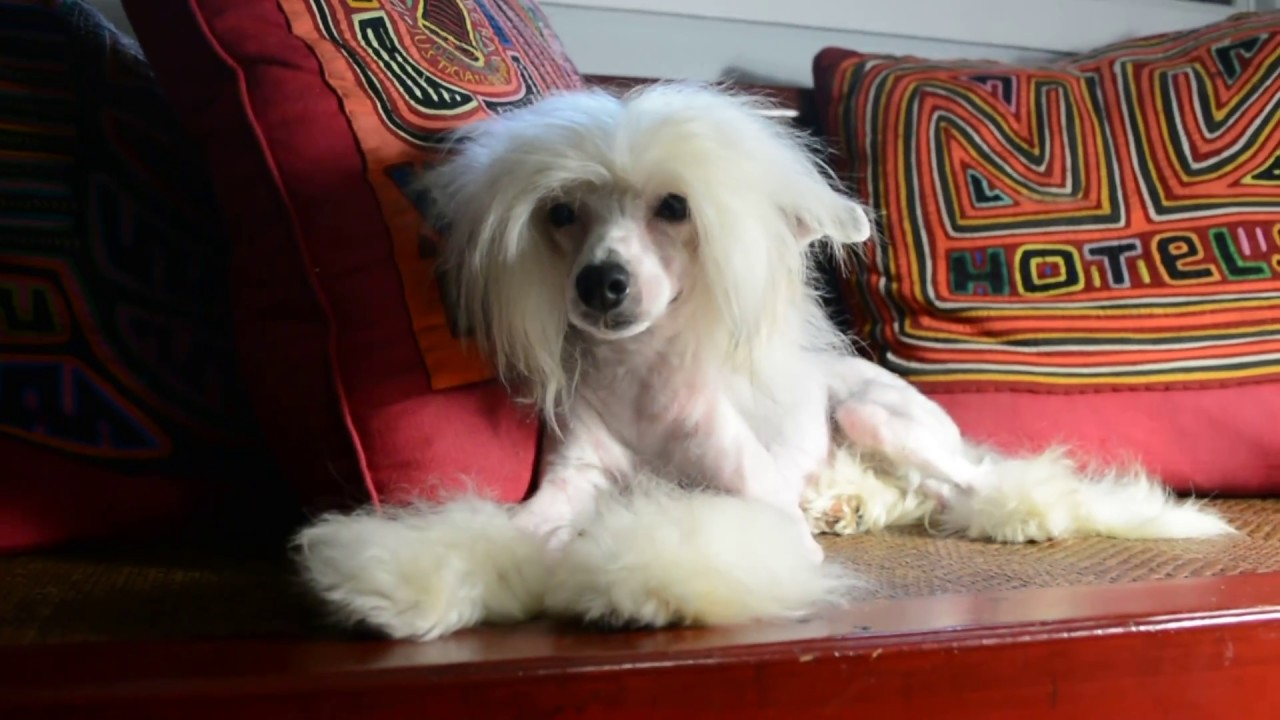 MythicKingdom Chinese Crested Blue Jay with hairless cat 9 ...