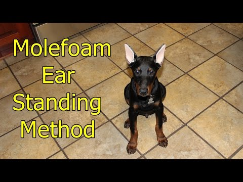 Doberman ear standing/bracing method