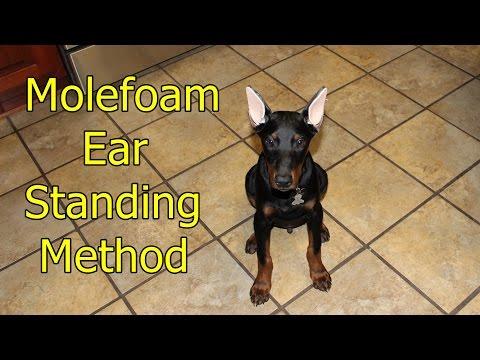 Doberman ear standing/bracing method - YouTube