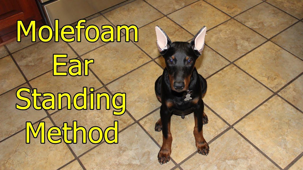 Doberman Ear Standingbracing Method Youtube