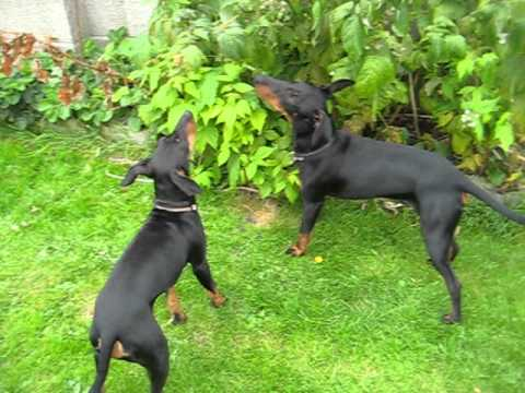 Manchester terriers fruit picking