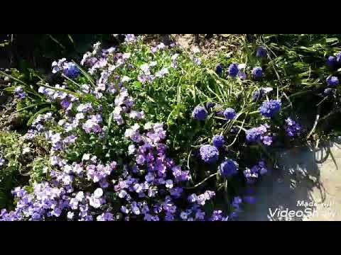 Что цветет в саду в апрелеМой сад 24 апреля.