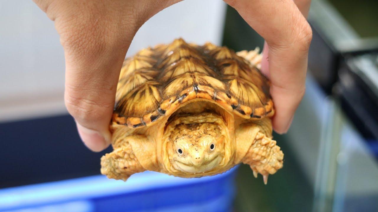 Siêu phẩm rùa Hypo common da cam cực đẹp 😍