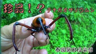 【Thailand】甲虫