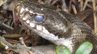 Käärme ja muurahainen