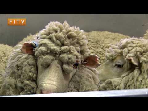 Falkland Shears