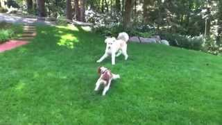 Lily And Addie Playing Off Leash | Follow The Leader Dog Training And Rehabilitation Llc