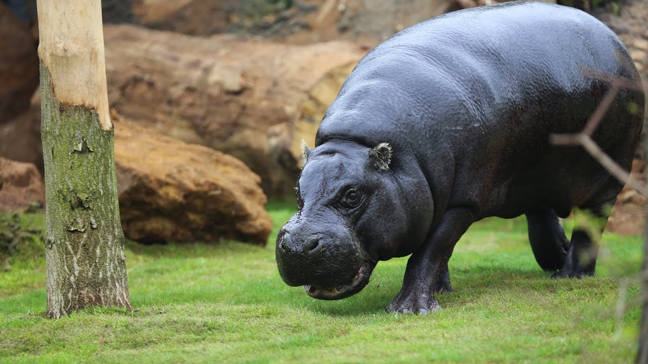 A pygmy hippo is exploring its new home