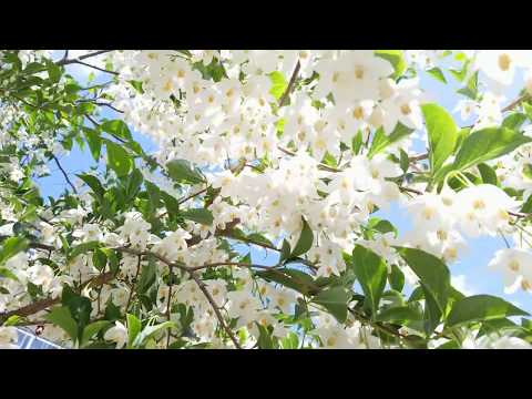 SPRING In VANCOUVER - JASMINE - Japanese Snowbell Tree In Bloom - Vancouver BC ( Styrax Japonicus )
