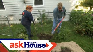 How to Transplant a Rose Bush   Ask This Old House