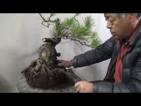 Hurt pine tree will be beautiful Bonsai by Bonsai master 3 years later.