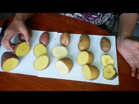 Начинающий картофелевод! Помогите определить сорта картошки!
