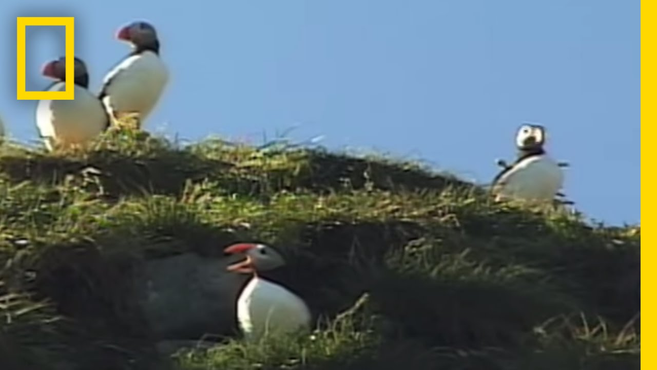 Iceland Puffins   National Geographic