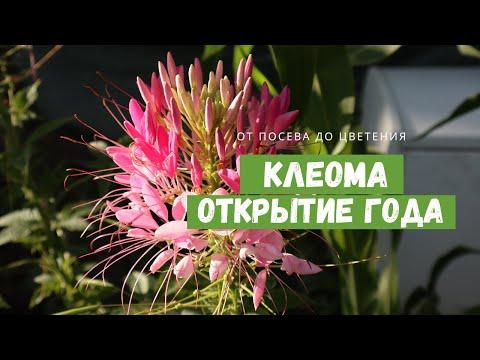 Растение, в которое я влюбилась / КЛЕОМА в моём саду / От посева до цветения и сбора семян