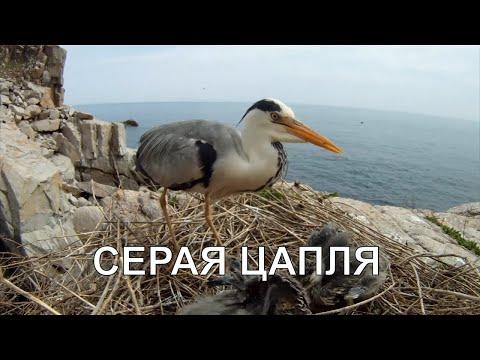 И снова GoPro. Серая цапля. Grey Heron