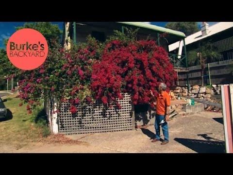 Burke's Backyard, How to Keep A Bougainvillea Flowering