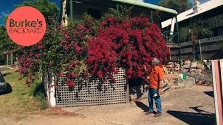 Burke's Backyard, How to Keep A Bougainvillea Flowering