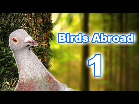 BIRDS ABROAD Episode 1- Pinus ponderosa