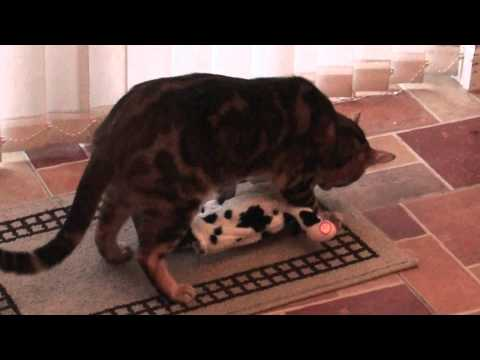 Cougar the Bengal Cat and the Dancing Cow – Funny Video – HD