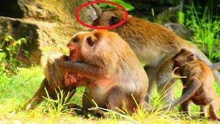 Terrify , terrify! Monkey fighting until break near eye, Monkey argue seriously, Sad monkeys
