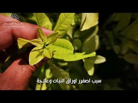 من اسباب إصفرار اوراق النبات وعلاجة Youtube